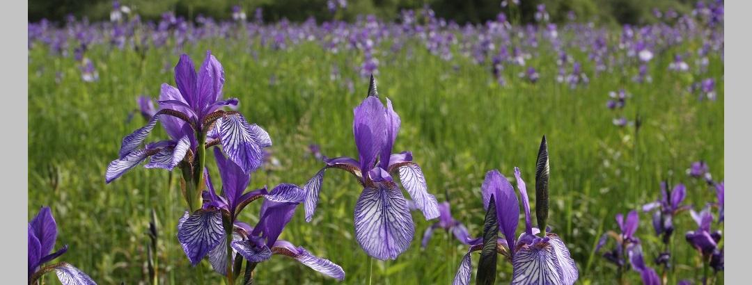 Irisblüte im Eriskircher Ried