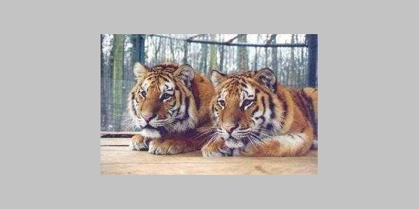 Tigergehege