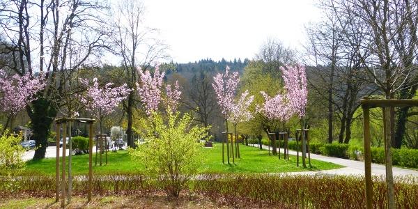 Die Kirschen blühen.