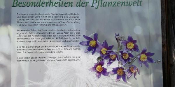Info zur Küchenschelle am Bogenberg