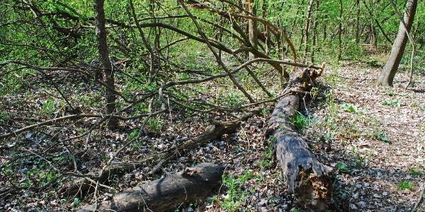 Im Auwald der Lobau