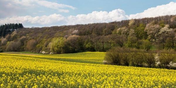 Sie machen den Reiz dieser Wanderung aus: Blühende Rapsfelder auf der Höhe bei Greimersburg, …