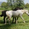 Pferdekoppel hinter Altenstadt/Elsass