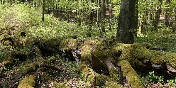 Wildnis im Naturerbe-Wald