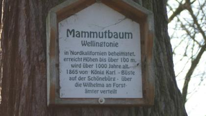 Mammutbaum, Schönebürg