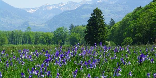 Irisblüte