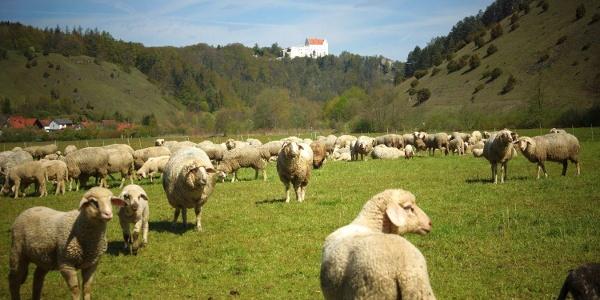 Schafe beim Lintlberg in Riedenburg im Altmühltal