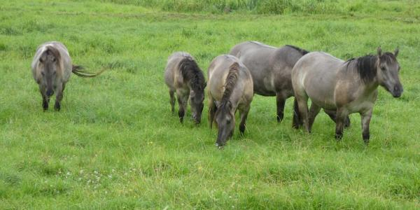 Pferde vor Feigendorf