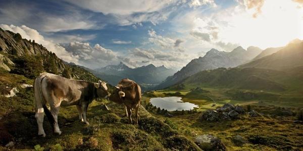 Lai da Vons mit Kühen