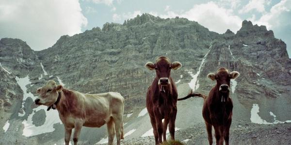 Kühe auf der Alp Curtignatsch