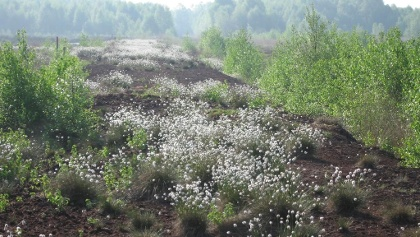 Wollgrasblüte in der Molberger Dose
