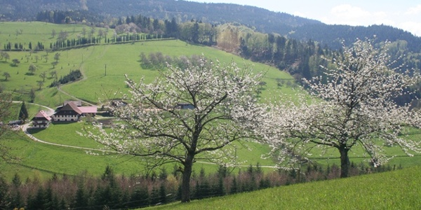 Kirschblüte in Nordrach