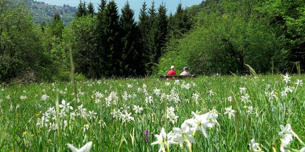 Narzissenfeld oberhalb von Les Avants.