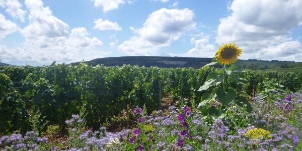 Vineyard Wild Flower Area