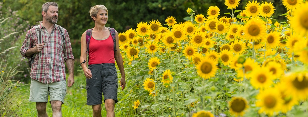 Wanderweg neben Sonnenblumen