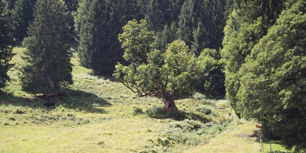 Bergahorn Außerwald