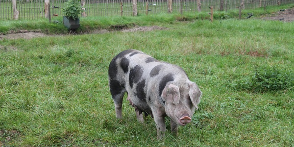 Bentheimer Schwein im Tierpark Nordhorn