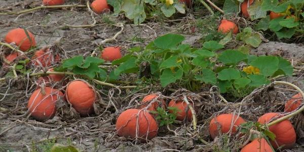 Hokkaidokürbisfelder
