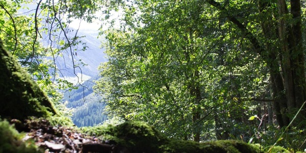 Im Haspelwald zwischen Bergahorn und Fichten