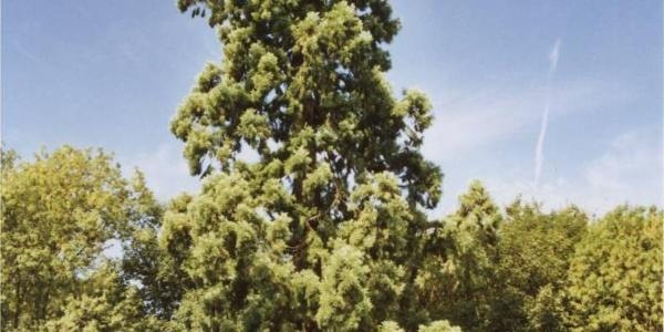 Mammutbaum in Kamp-Lintfort