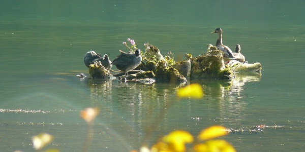 Blässhühner am Rhein