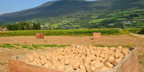 Le patata del Lomaso