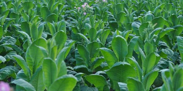 Tabakfeld in der Südpfalz