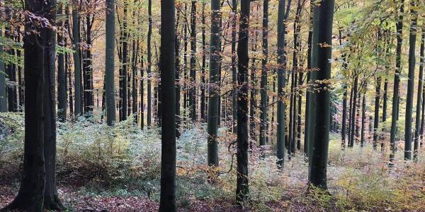 Herbststimmung unter Buchen