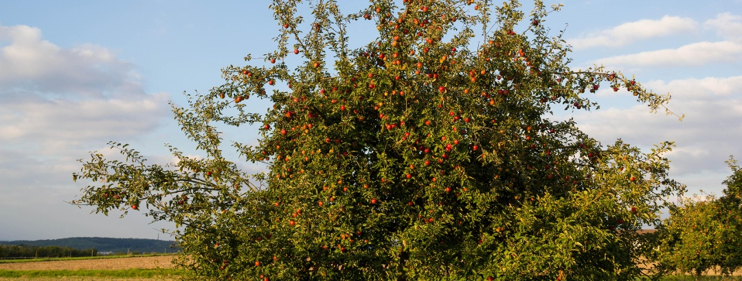 Apfelbäume auf dem Gleichen