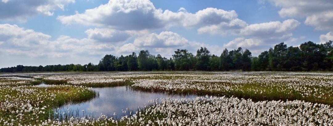 Wollgras Moorlandschaft
