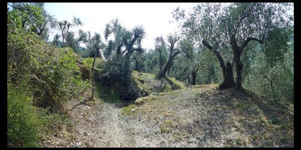 Olivenhain am Wanderweg zwischen Santa Brigida und Ponte Martelli