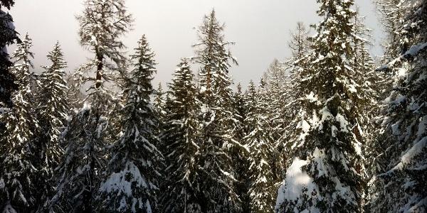 Forêt de montagne enneigée
