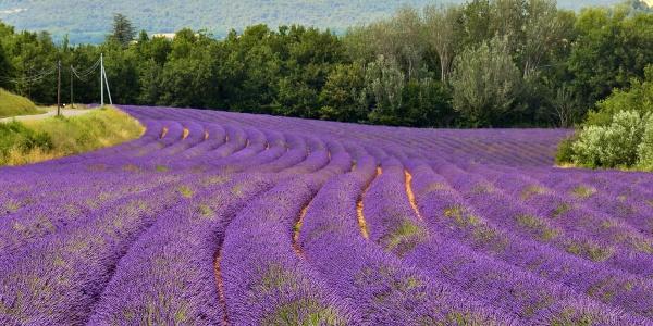 Lavender fields near Roussillon