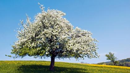 Apfelbaum im Bachsertal.