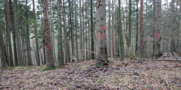 Die rot markierten Bäume werden demnächst gefällt.