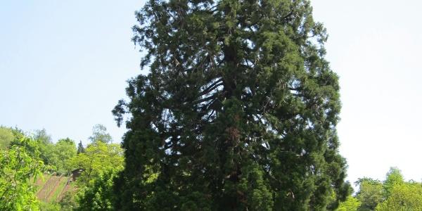 Der Startpunkt - Einer der dicksten Mammutbäume Deutschlands