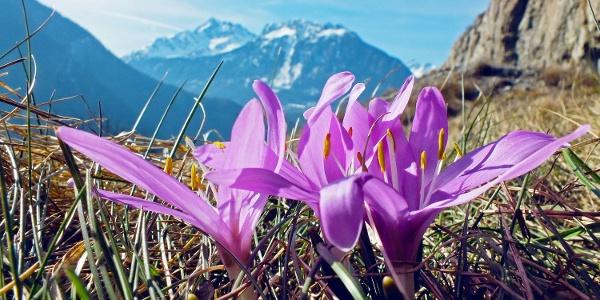 Frühlingslichtblumen im Naturschutzgebiet Follatères