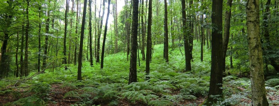 Märchenhafter Wald an der Nordseite des Gohrisch