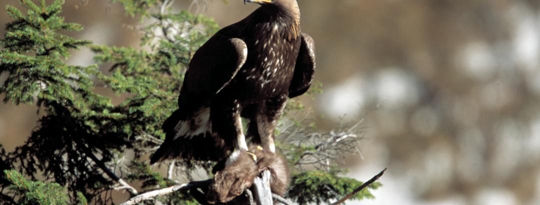 Aquila reale con preda