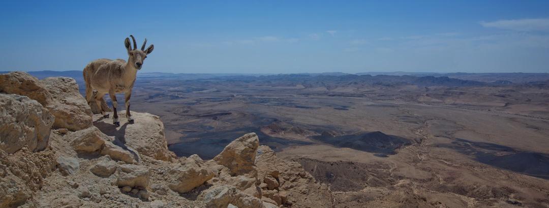 Steinbock am Krater Makhtesh Ramon