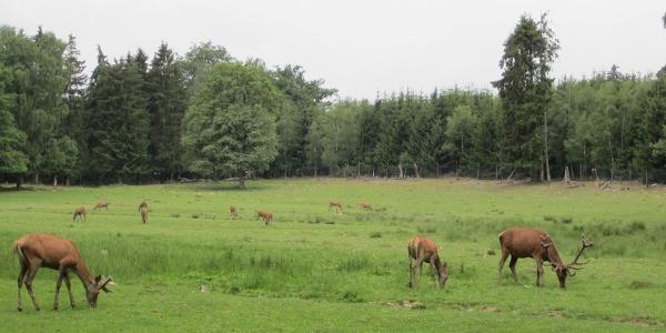 Im Hochwildschutzpark Rheinböllen