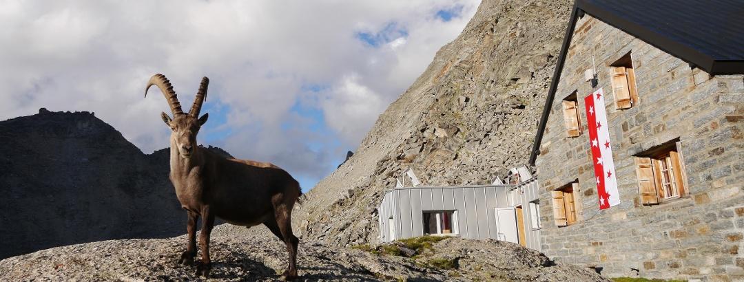 Steinbock vor der Bordierhütte