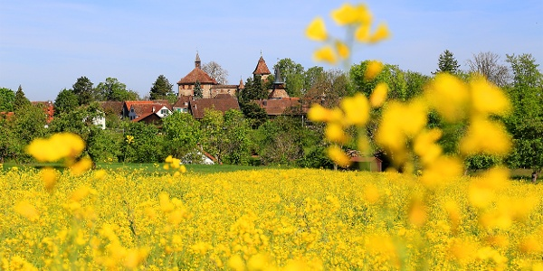 Rapsfelder vor Schloss Kyburg.