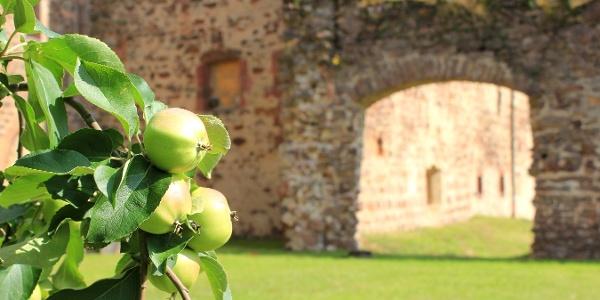 Apfelbaum vor Kloster Buch bei Leisnig
