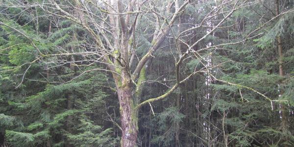 Ein interessanter Baum am Höhenweg im März.