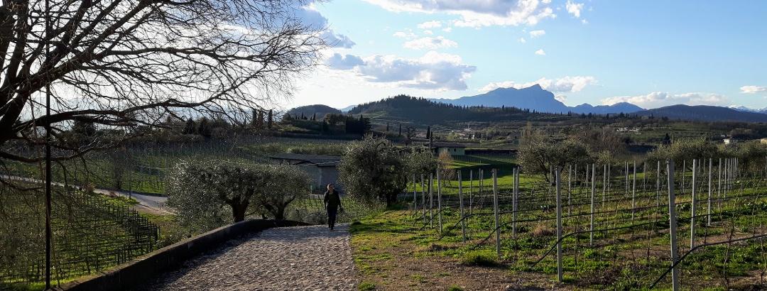 In den Weinbergen um Bardolino