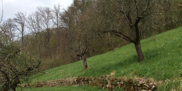 Weg durch Streiobstwiesen von Schornbach nach Streich