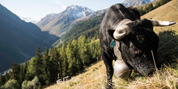 Hérens cow in the Val d'Anniviers