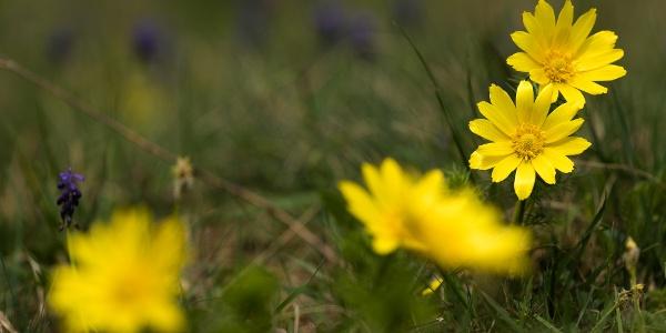 Tavaszi hérics a Nagy-Kopasz oldalában