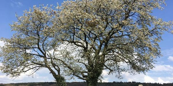 Blühender Kirschbaum am Wegesrand